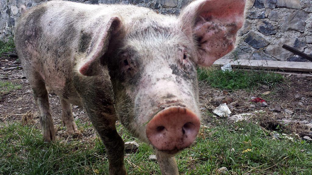 Schwein Abendbrot Theth