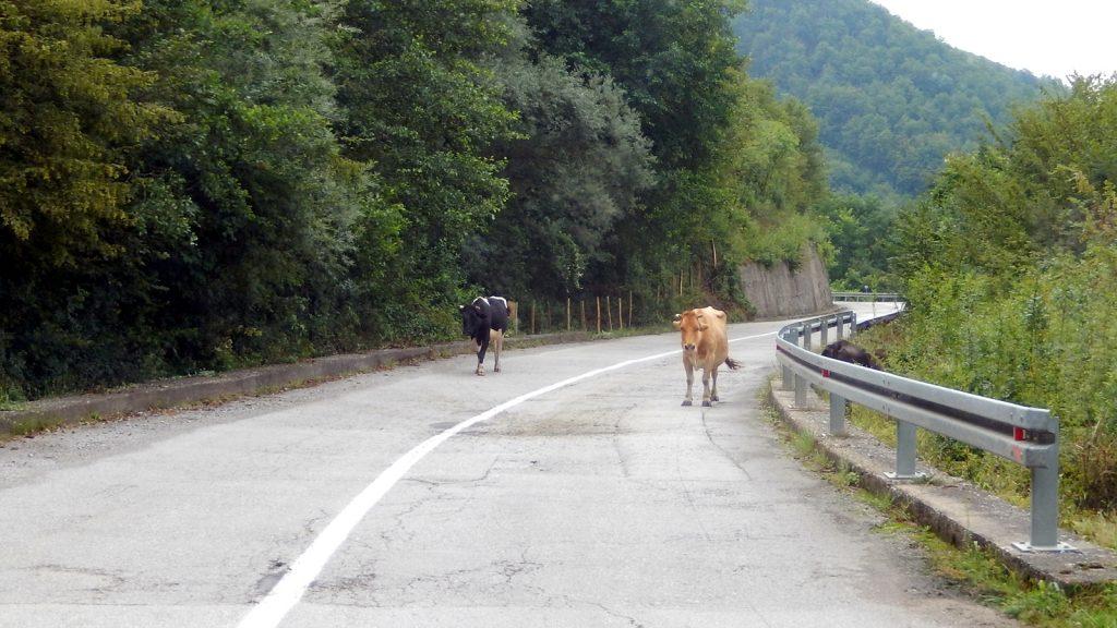 Kühe auf der Straße nach Montenegro