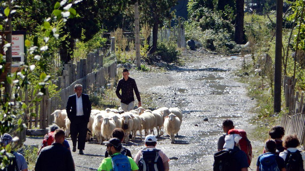 Schäfer und Schafe auf der Dorfstraße in Theth, Albanien 2016
