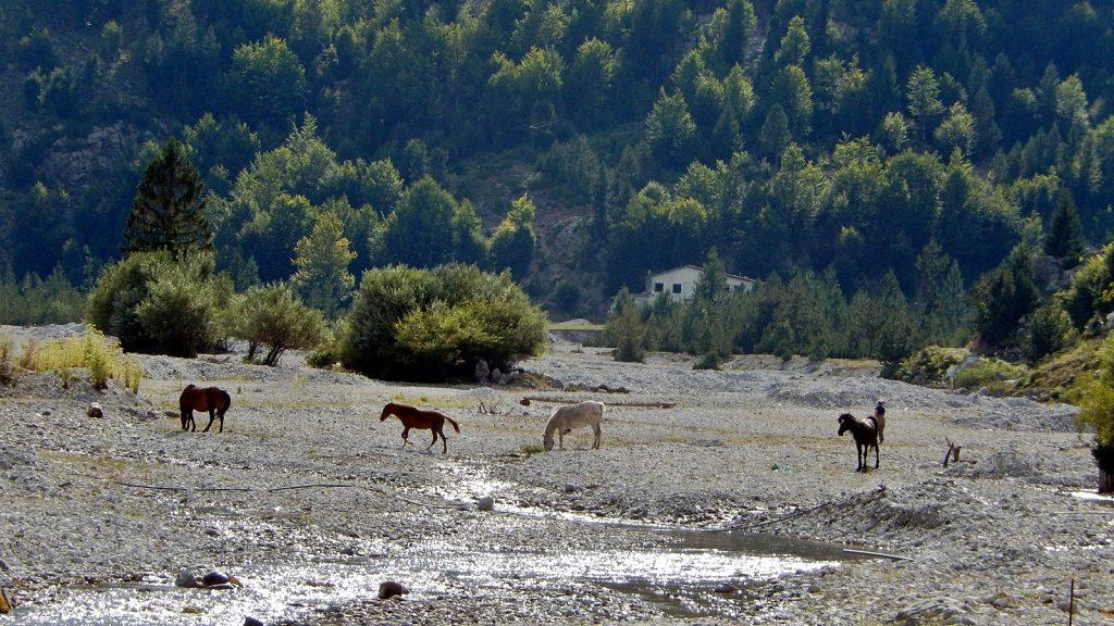Pferde im fast trockenen Valbona-Flussbett