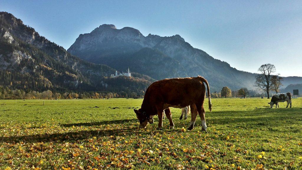 Kuh vor Schloss Neuschwanstein im Allgäu