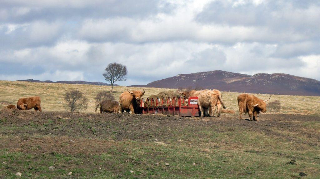 Schottische Hochlandrinder auf einer Weide in der Speyside