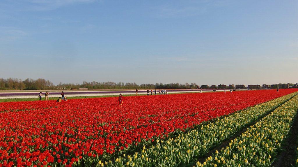 Tulpen, soweit das Auge reicht: Lisse, Holland
