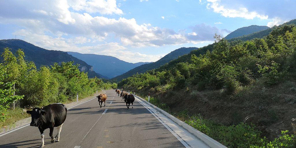 Lopë ist das albanische Wort für Kuh.
