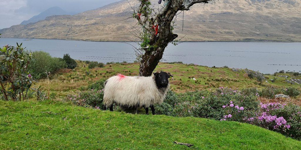 Typisches irisches Wollschaf